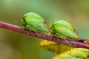 SPINY GREEN SHIELD BUGS