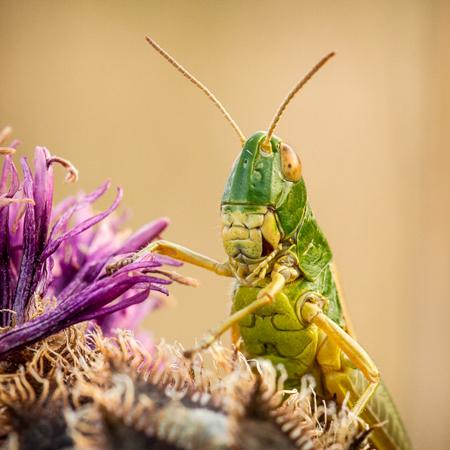 Grasshopper on Thistle